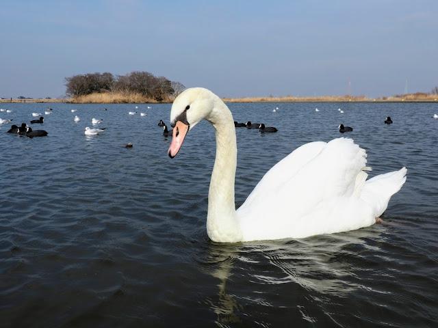 川の駅水の郷さわら 白鳥