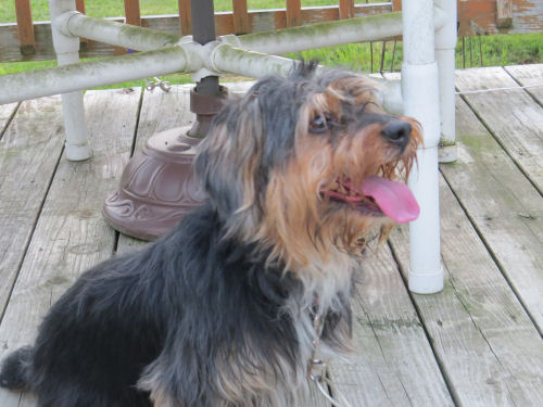 small shaggy dog