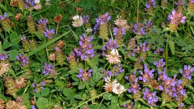 Self heal and clover