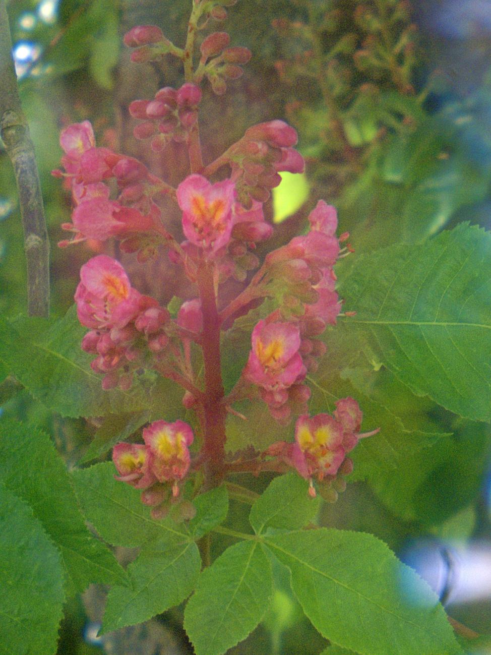Kastanienblüte mit Aura