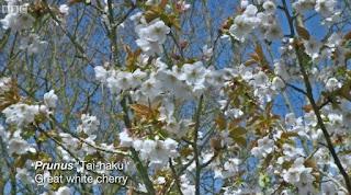 Great White Cherry Tree