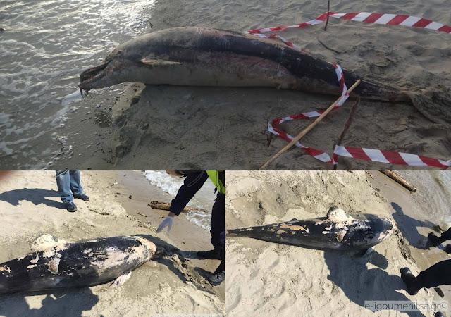 Νεκρό δελφίνι ξέβρασε η θάλασσα στην Ηγουμενίτσα (+ΦΩΤΟ)