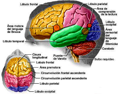 Pedagogía A Distancia Principales Estructuras Cerebrales