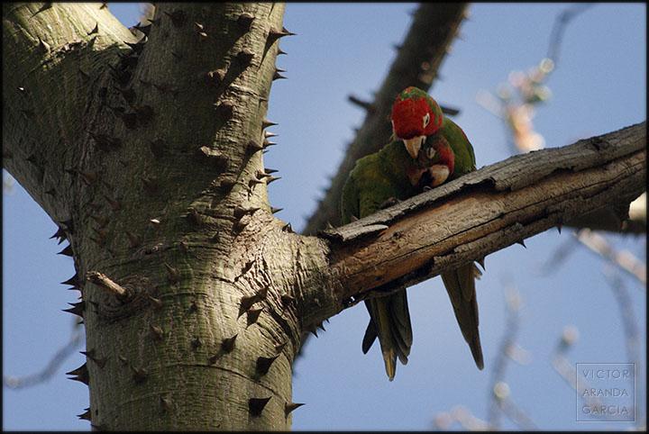 Fotografía de una pareja de cotorras enamoradas en la rama de un árbol
