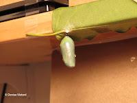 Monarch chrysalis 12 hours before emerging - © Denise Motard