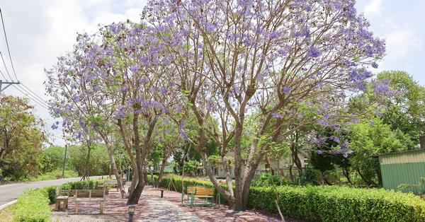 彰化埔心油車社區藍花楹公園和蓮花池小船,詩情畫意約會好去處