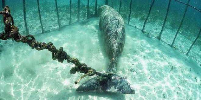 Dugongo preso numa jaul submarina na Indonésia