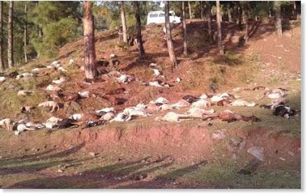 Εκατό ζώα νεκρά από κεραυνούς στο Κασμίρ - Video
