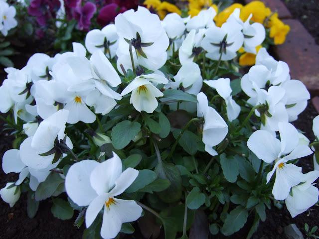 白く咲き群れるビオラ