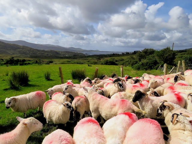 Sheepherding experience at Hidden Hills Waterville Ireland