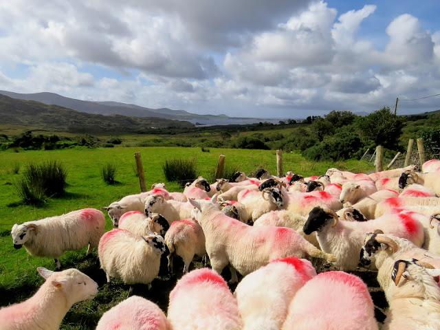 Sheepherding experience at Hidden Hills Waterville Ireland