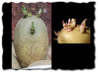 الأوكسينات وتخزين البطاطس
