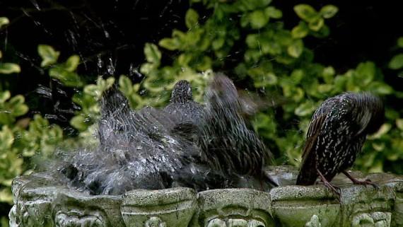 Burung jalak mandi