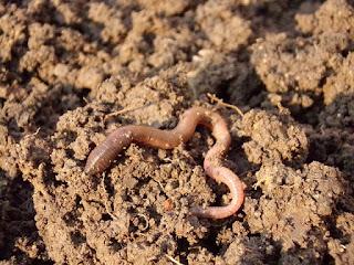 Cara Berternak Cacing tanah Walaupun bikin Geli tapi Menjanjikan Kekayaan