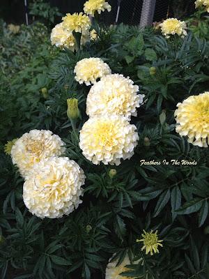 large, white marigolds growing