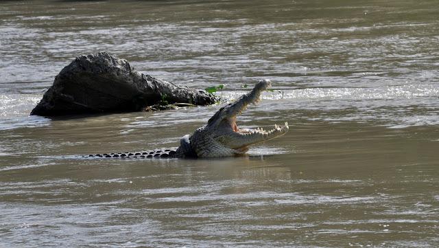 Un cocodrilo de 4 metros lleva años con un neumático que le estrangula el cuello y ahora ofrecen una recompensa para liberarlo