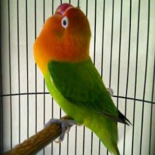 lovebird lomba, lomba lovebird