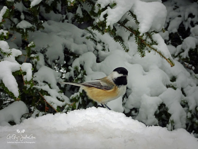 Black-capped Chickadee Photo
