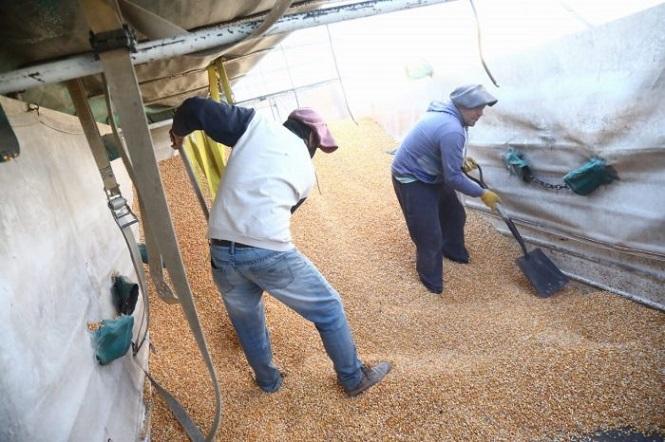 Economía asiste con 80 toneladas de alimento a productores de cerdo y ganado de San Rafael