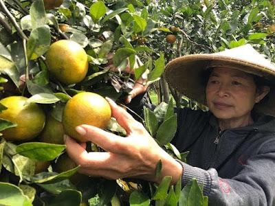 Wisata petik buah jeruk di kintamani, Bali