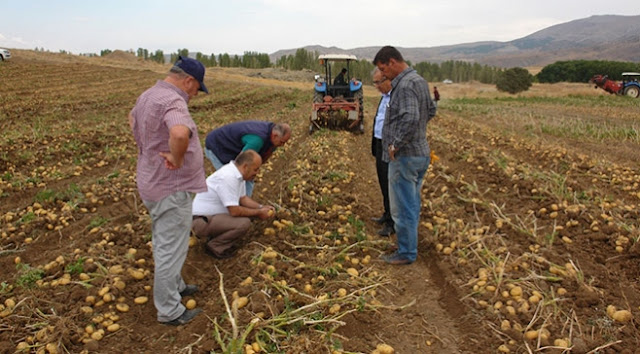Sivas'ta sertifikalı tohumluk patates hasadı başladı.