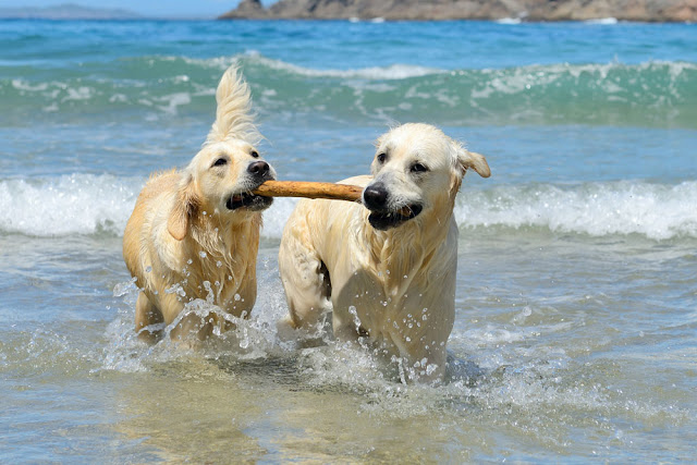 How Hungarian dog owners perceive dominance relationships between dogs. Photo shows two retrievers playing in the sea