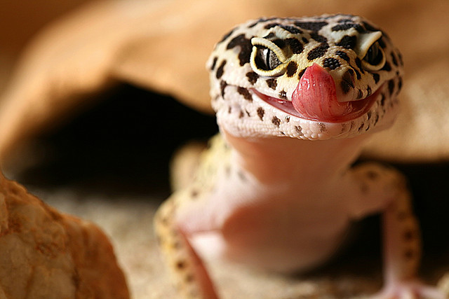 The Amazing Gecko 20 Interesting Facts About The Worlds Most