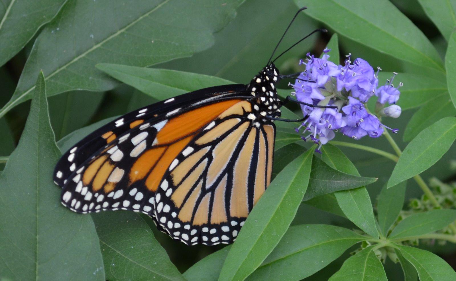Forgetmenot Monarch Butterflies