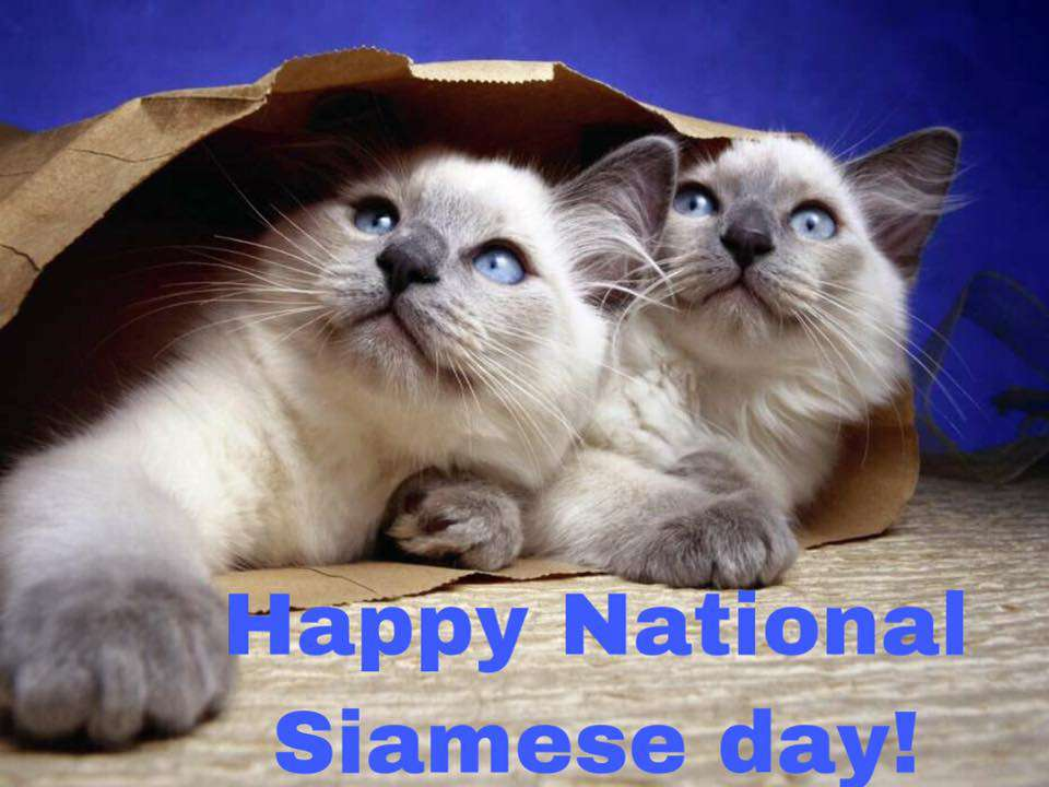 National Siamese Cat Day Wishes Photos
