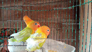 https://www.mysomer.com/2019/08/resiko-terbesar-anak-lovebird-di-loloh-induk.html