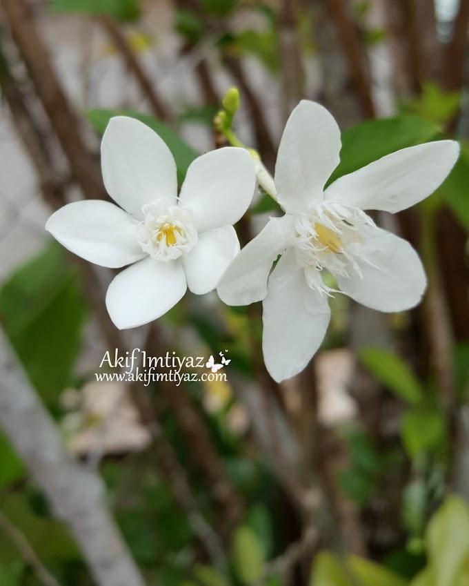 Suka Sangat Kat Bunga Kemboja Cina Ni ....