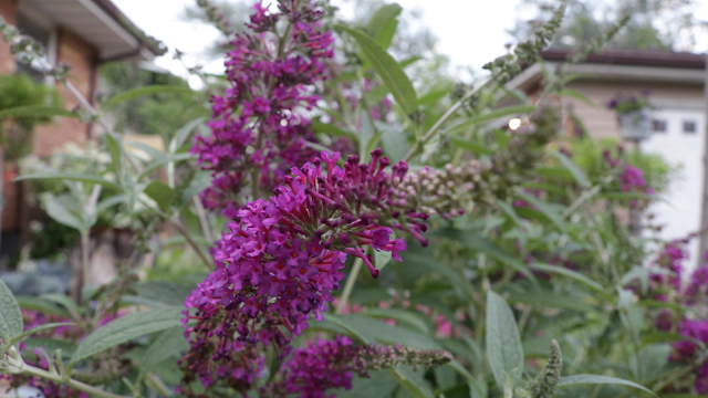 Gorgeous summer garden tour with tons of brilliant color