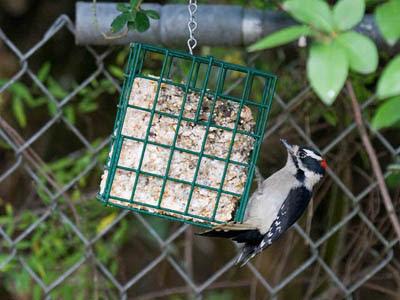 Photo of Downy Woodpecker on suet feeder