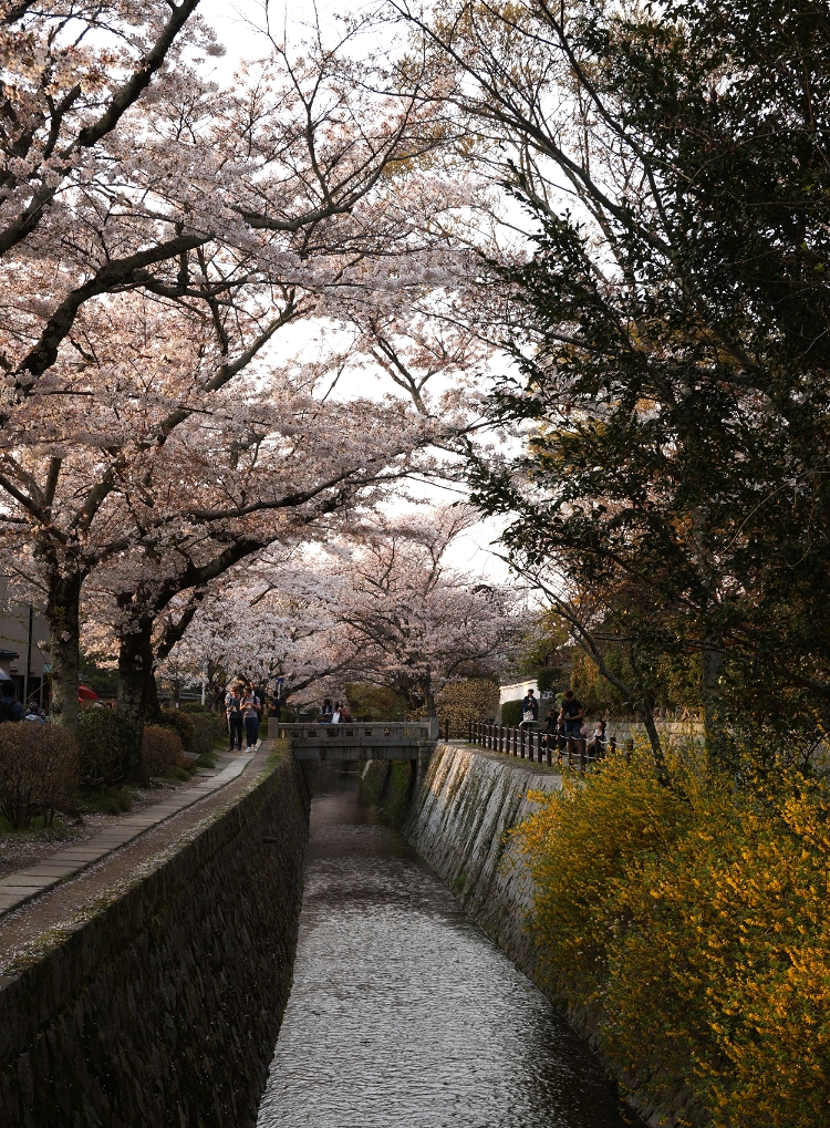 cherry blossoms, Kyoto, Japan, Euriental