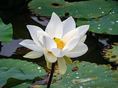 Sacred lotus flower: Tsurugaoka-hachimangu