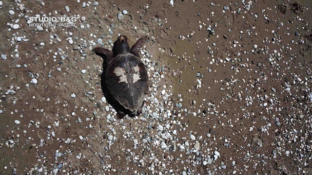 Νεκρή θαλάσσια χελώνα στην παραλία Πλάκας Δρεπάνου στην Αργολίδα (βίντεο drone)