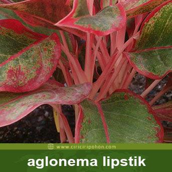 ciri ciri pohon aglonema lipstik