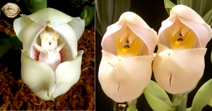 Meet the 'Cradle of Venus' Orchid, One of the Most Beautiful Flowers in the World