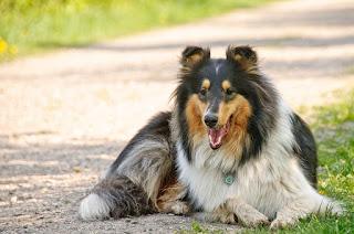 كلب الكولي  Collie