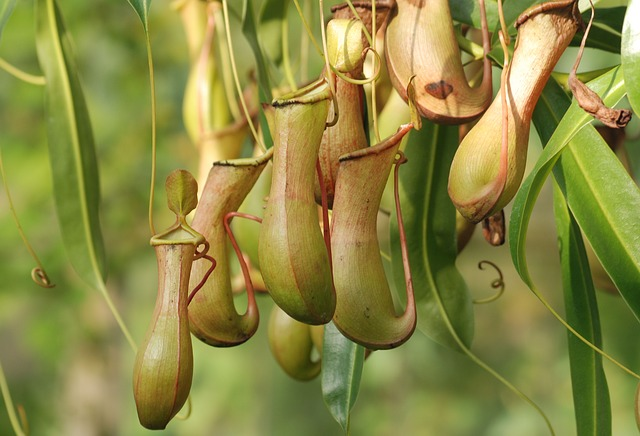 carnivores plants