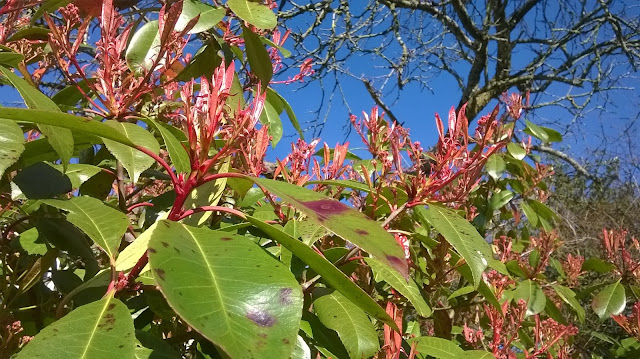 Life between the flowers-Photinia Red Robin produces new red shoots in mid March
