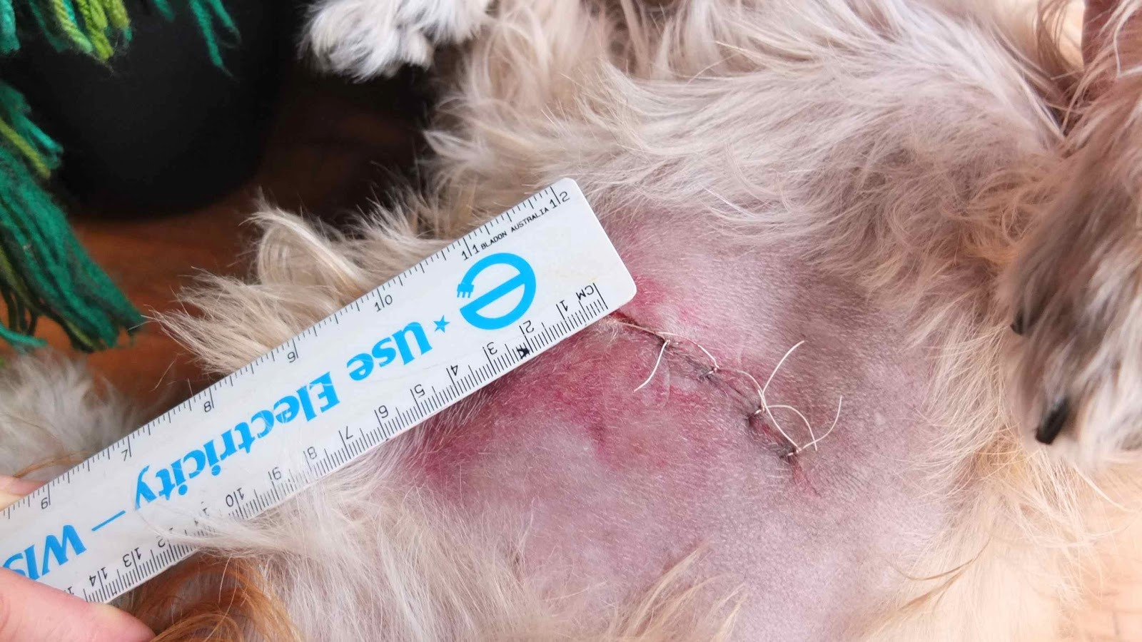 my dog: post surgery for the lipoma
