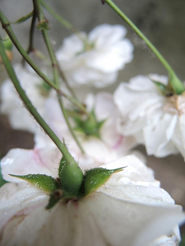 In mijn tuintjes: over mijn problematische achtertuin en de bloemen in  juni  2020
