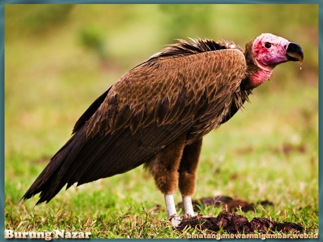 gambar binatang dari huruf N burung nazar