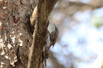 Agateador común trepando por un pino