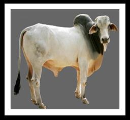 Tharparkar breed characteristics