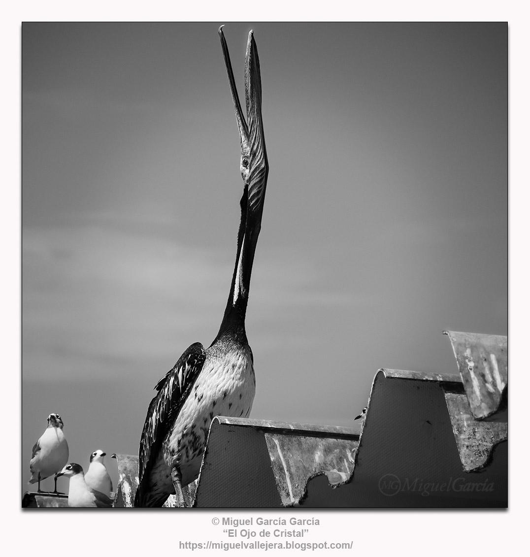 El Callao, Perú.- El grito del pelícano.