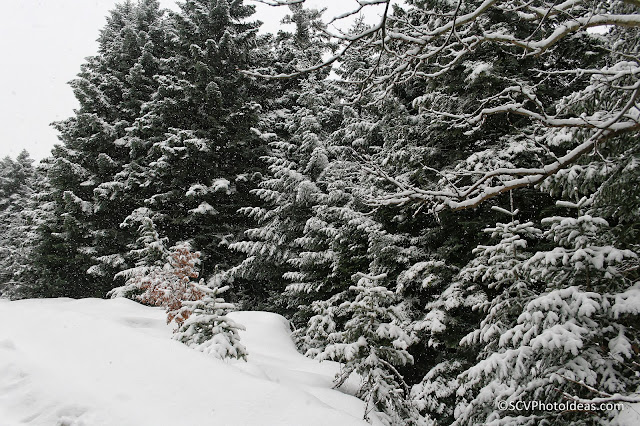 Snowed Fir-Trees on the mountain slope