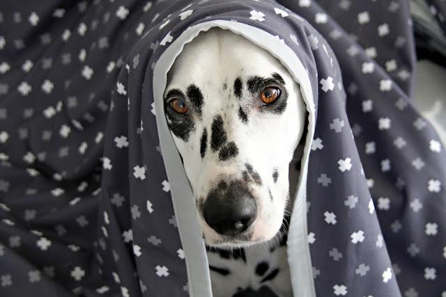 Dalmatian dog cuddled under a grey and white dog blanket