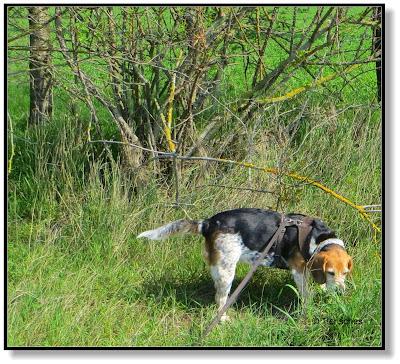 auf einen Beagle muss man sehr gut aufpassen